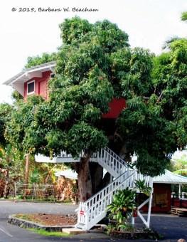 Mango Tree-barbara-w-beacham